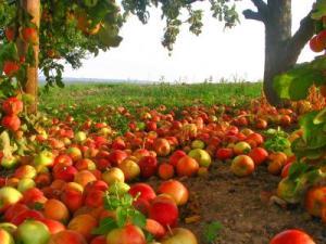 Alte Kulturlandschaften verschwinden, Apfelplantagen als Monokulturen sollen entstehen. Ein Dorf wehrt sich. Foto: Michael  / pixelio.de